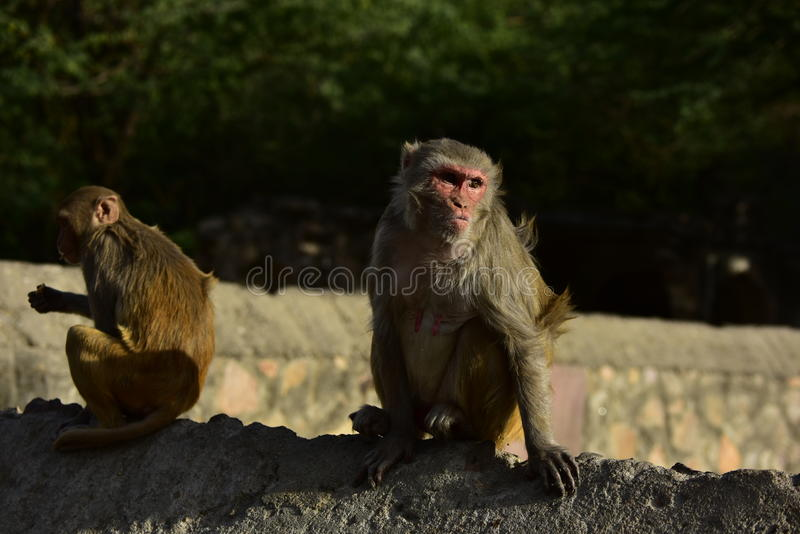 Monkey Makak Rezus. A trip to India, the temple of monkeys in Galta. Makaki Rezusy. Mammals, primates, fur. Very willing to do monkey tricks. Holy ponds, water stock images
