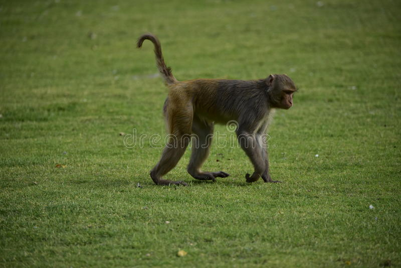 Monkey Makak Rezus. A trip to India, the temple of monkeys in Galta. Makaki Rezusy. Mammals, primates, fur. Very willing to do monkey tricks. Holy ponds, water royalty free stock images
