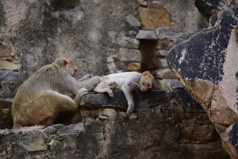 Monkey Makak Rezus. A trip to India, the temple of monkeys in Galta. Makaki Rezusy. Mammals, primates, fur. Very willing to do monkey tricks. Holy ponds, water royalty free stock photography