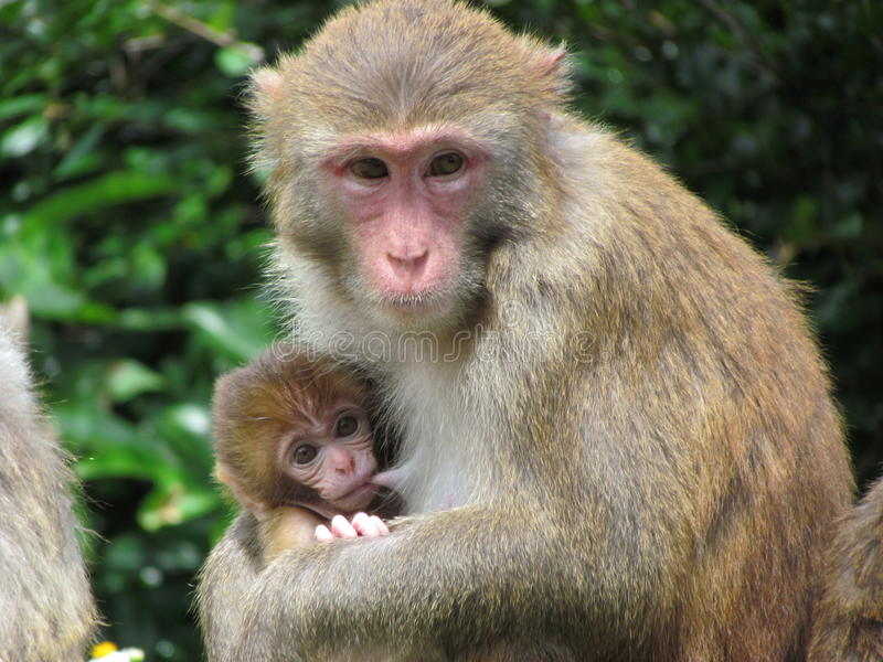 Monkey Mam Feeding a Baby. Love and care stock images