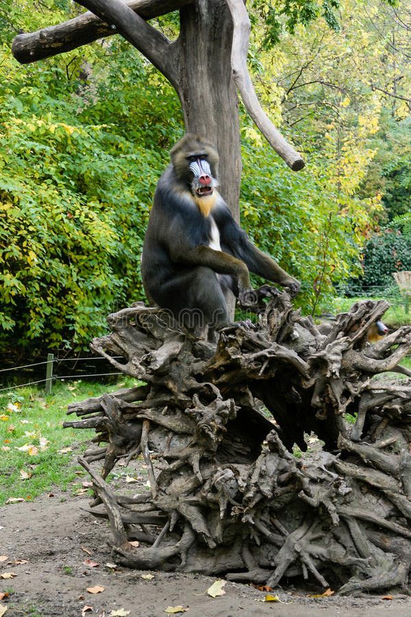 Monkey Mandrill sits on a tree. Close-up royalty free stock photography