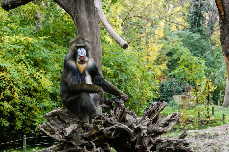 Monkey Mandrill sits on a tree. Close-up stock photos