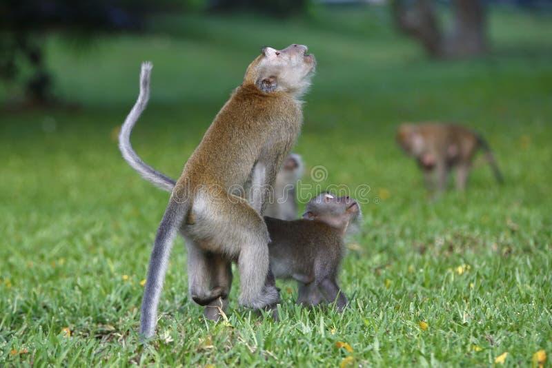 Download Monkey mating 2 stock photo. Image of walk, life, prey - 30700230
