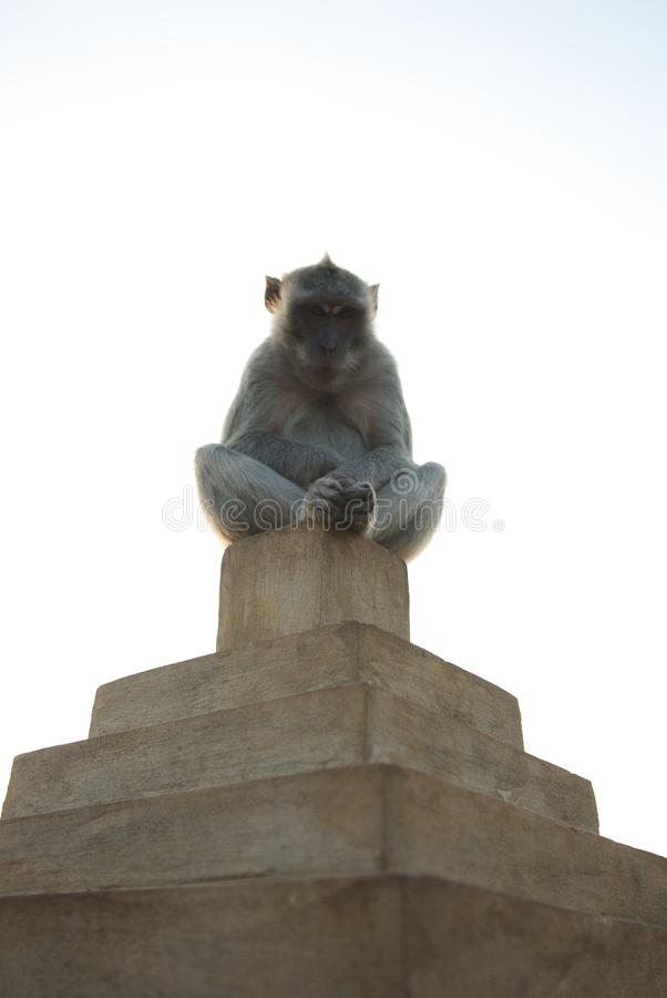 Monkey in meditation. royalty free stock images