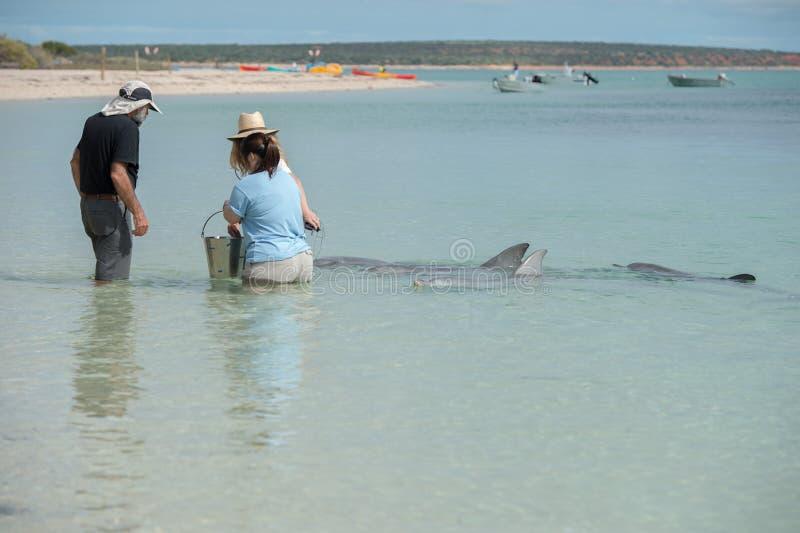 MONKEY MIA, AUSTRÁLIA - AGOSTO, 28, 2015 - golfinhos perto da costa obtêm em contato com seres humanos imagem de stock
