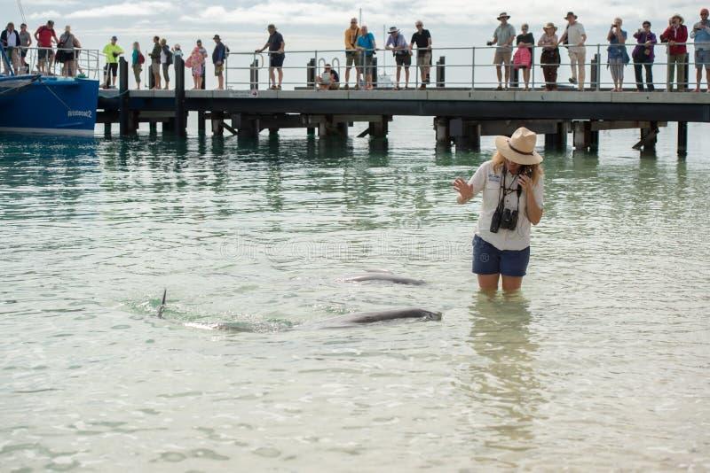 MONKEY MIA, AUSTRÁLIA - AGOSTO, 28, 2015 - golfinhos perto da costa obtêm em contato com seres humanos fotografia de stock