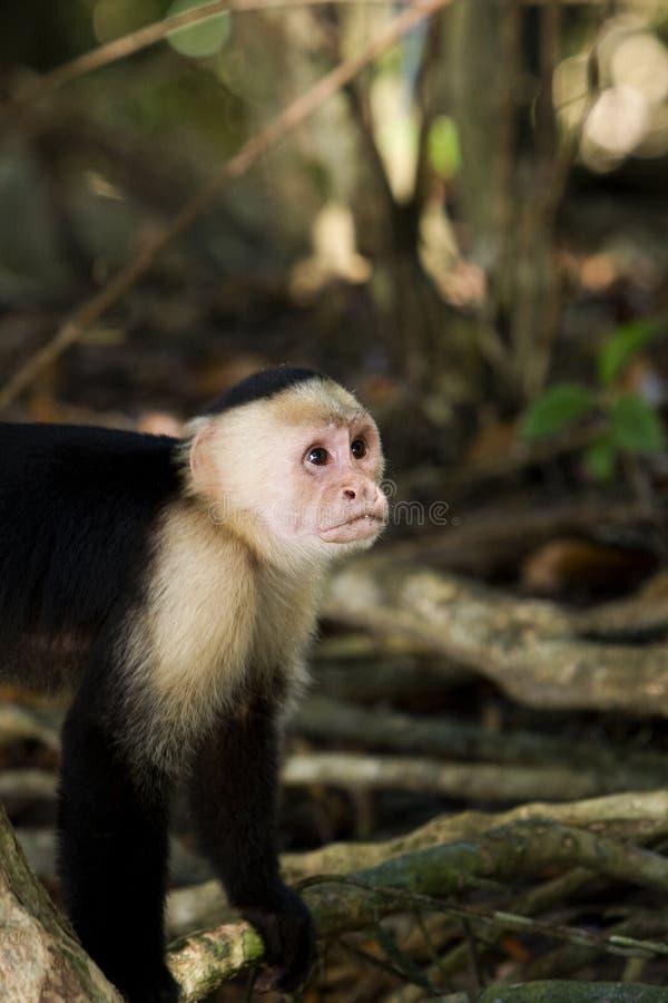 Free Monkey Model Stock Photography - 12594102