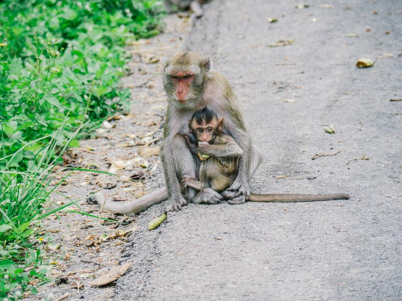 Monkey, mom and baby sits on the road royalty free stock photography
