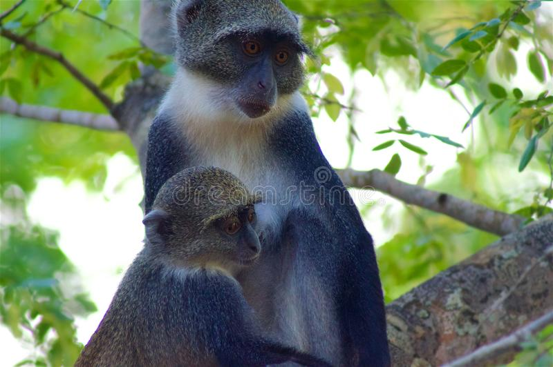 Monkey mom with baby in the woods royalty free stock photo