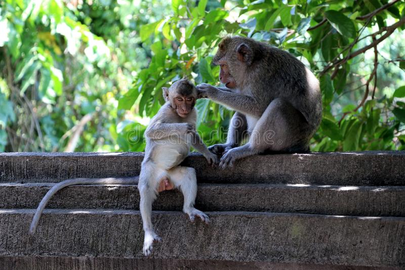 Monkey mom cares for her baby - Bali Asia stock photos