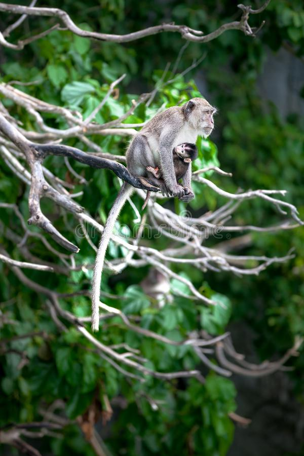 Monkey mom with son puppy. Bonnet macaque monkeys. royalty free stock photography