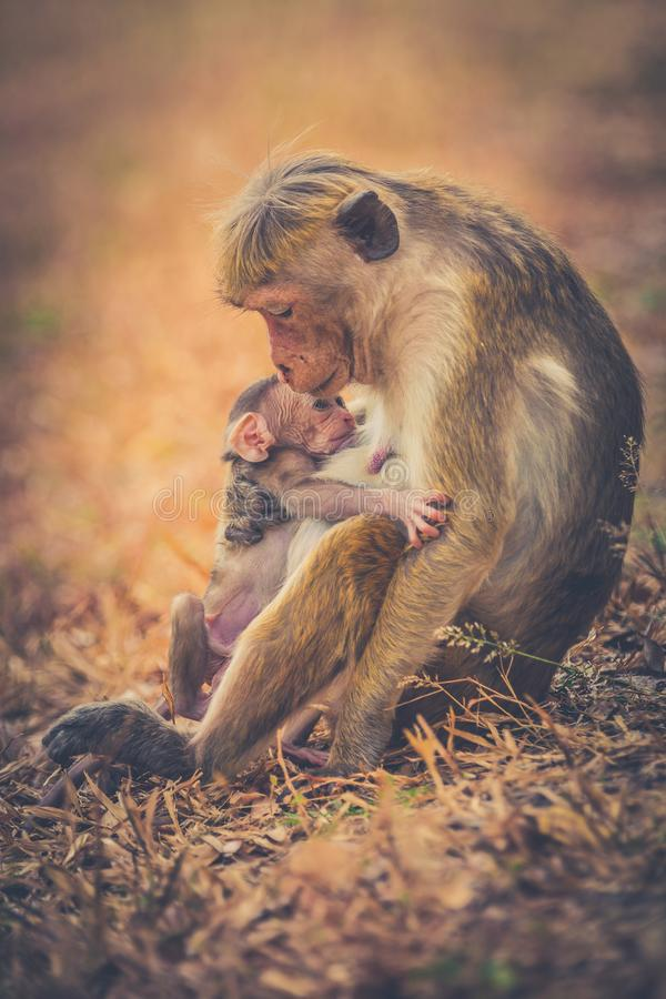 Monkey mom with son puppy. Bonnet macaque monkeys. royalty free stock images