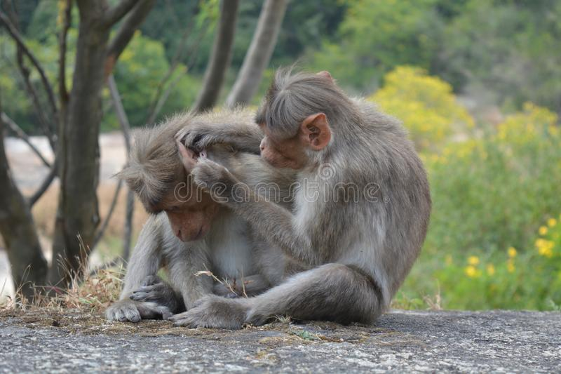 Monkey. A monkey family searching for dirt and bug on the head of other. These monkeys are tropical and can be sighted in Asia royalty free stock photos