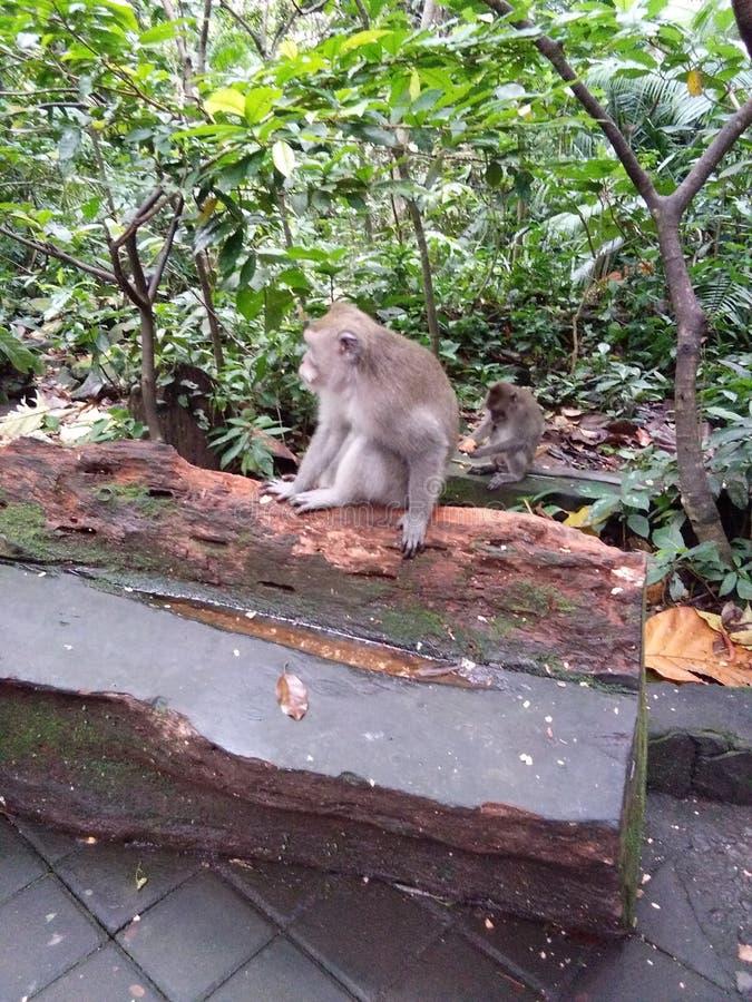Monkey at monkey forest royalty free stock photo