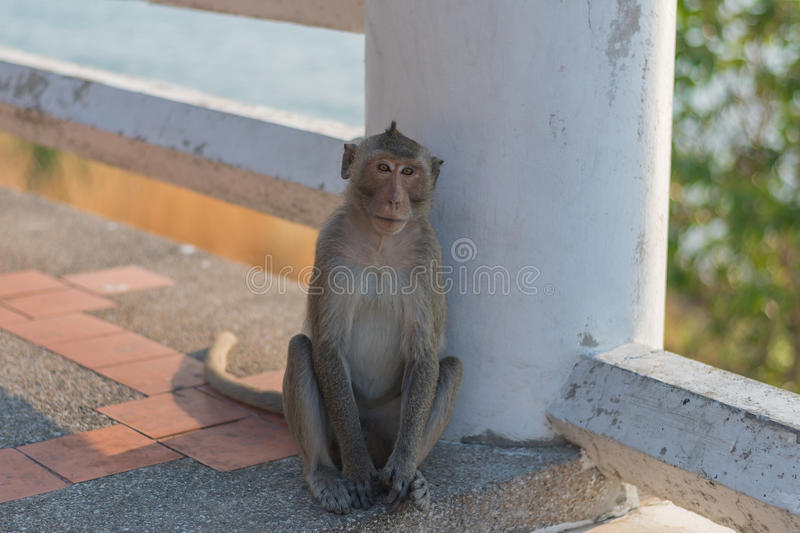 Monkey. S are haplorhine `dry-nosed` primates, a group generally possessing tails and consisting of about 260 known living species. There are two distinct stock photos