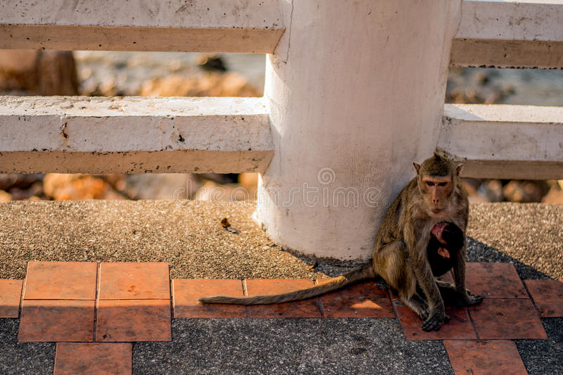 Monkey. S are haplorhine `dry-nosed` primates, a group generally possessing tails and consisting of about 260 known living species. There are two distinct royalty free stock photography