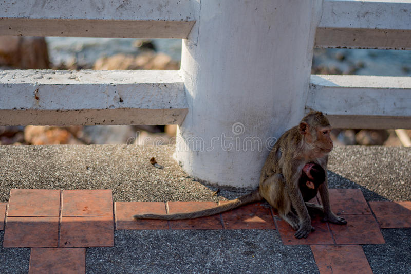 Monkey. S are haplorhine `dry-nosed` primates, a group generally possessing tails and consisting of about 260 known living species. There are two distinct royalty free stock photos