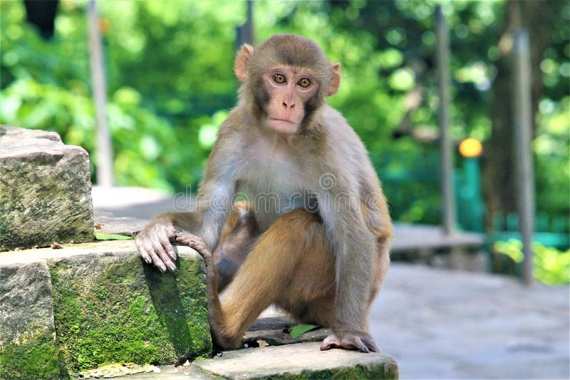 Monkey. Most of the monkeys around monkey temple are aggressive by nature as they always try to steal a food from numerous pilgrimages and tourists who visit the stock photo