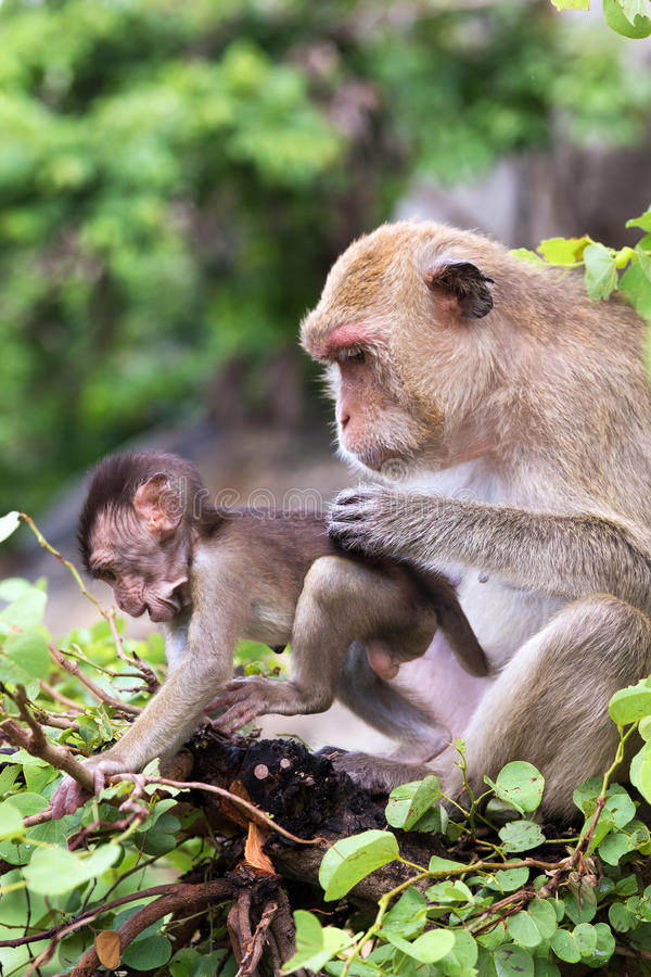 Download Monkey, mother with baby stock image. Image of baby, wilderness - 34187269