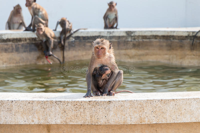 Monkey mother and baby. Mother monkey is holding the baby with love royalty free stock image