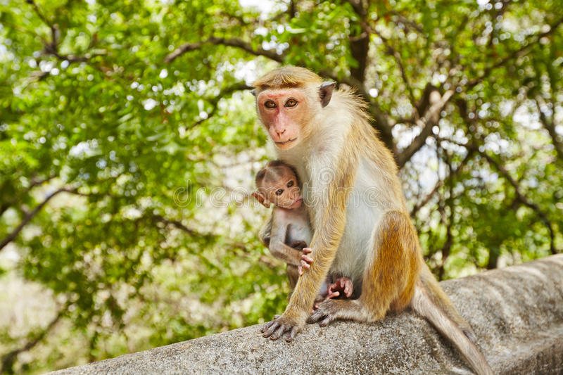 Monkey mother with baby. Monkey mother with hungry baby - selective focus on mother royalty free stock photo