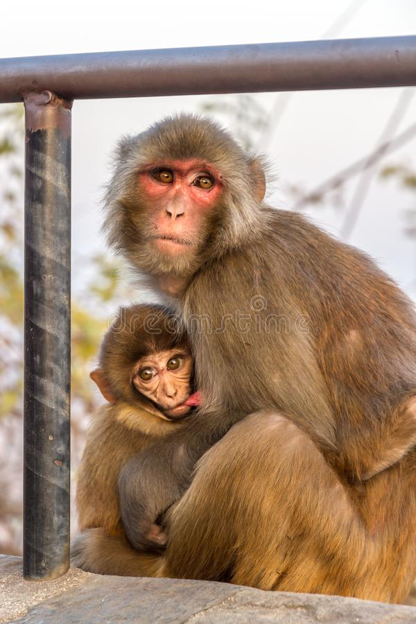 Monkey mother breast-feeding her child. Monkey mother breast-feeding her baby at Swayambhunath Stupa, also referred as Monkey Temple, in the Kathmandu valley stock photos