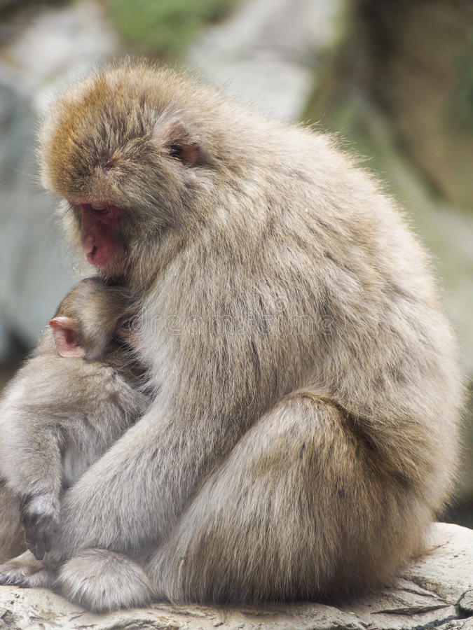 Download Monkey Mother and Child stock image. Image of macaque - 83714047