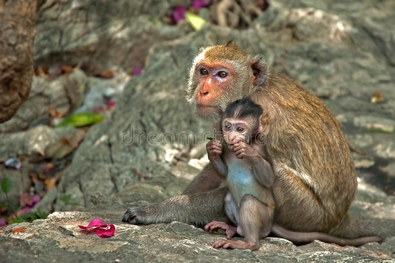 Monkey Mother and Daughter. These pix were taken in Thailand. A baby monkey clings closely to its mother. Their expressions are surprisingly human stock image