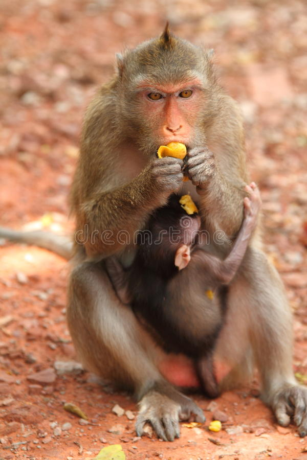 Monkey. The mother monkey enjoy with her food stock photos