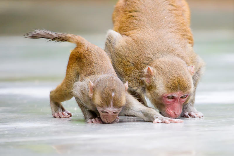 Monkey mother and her baby drinking water stock photo