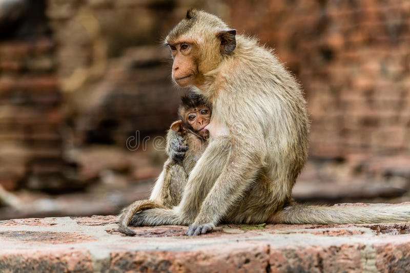 Young monkey drink milk from mothers chest. royalty free stock photos