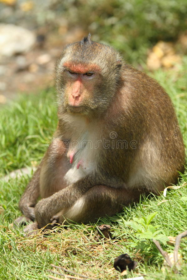 Monkey. This is mother monkey she look at her son play water royalty free stock images