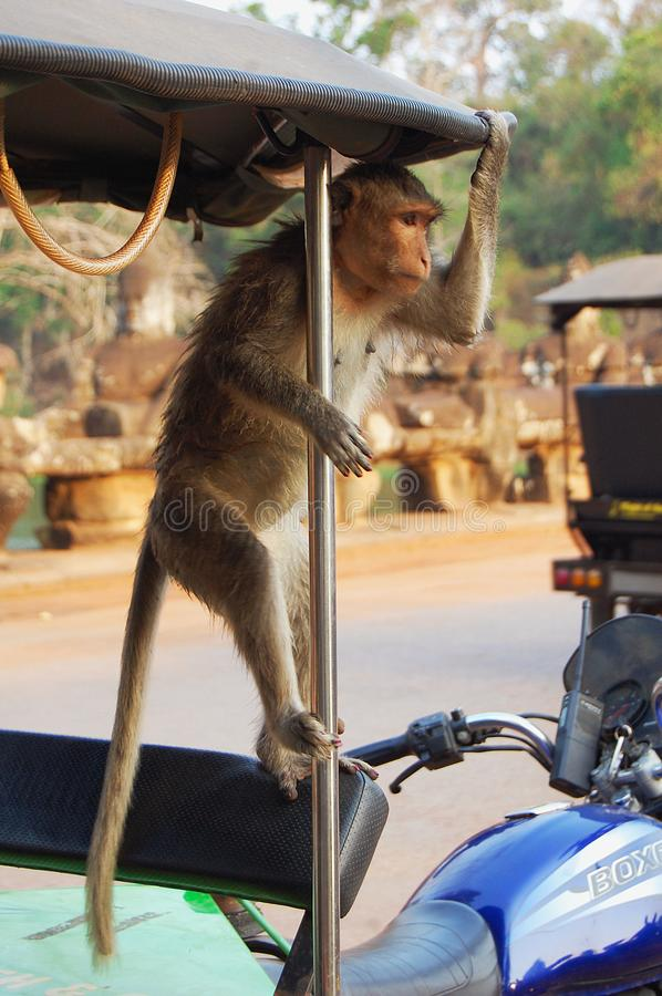 Monkey on a motorcycle royalty free stock photos