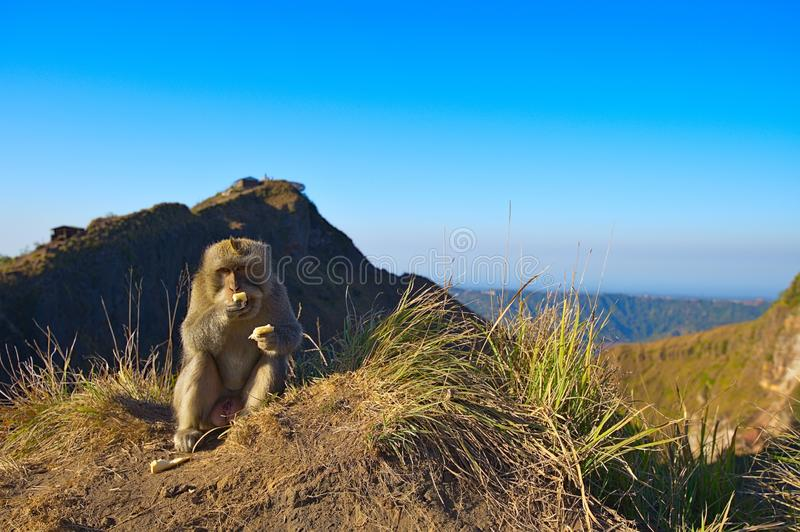 Monkey on Mount Batur on Bali Indonesia stock photography