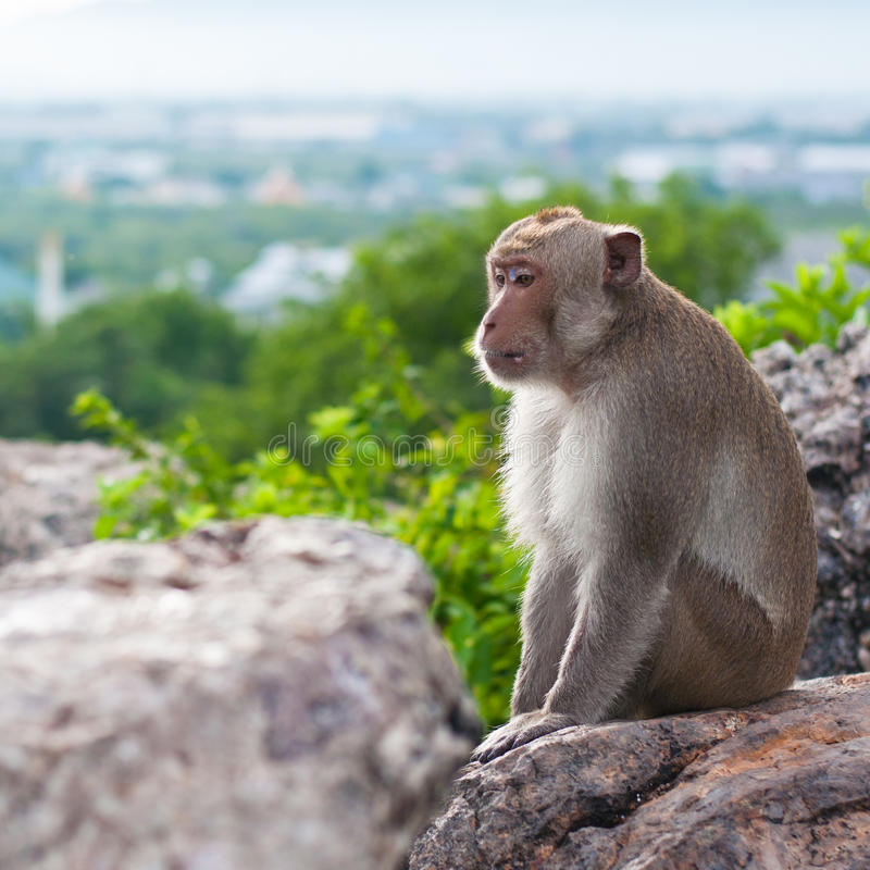 Monkey in the mountain royalty free stock photos