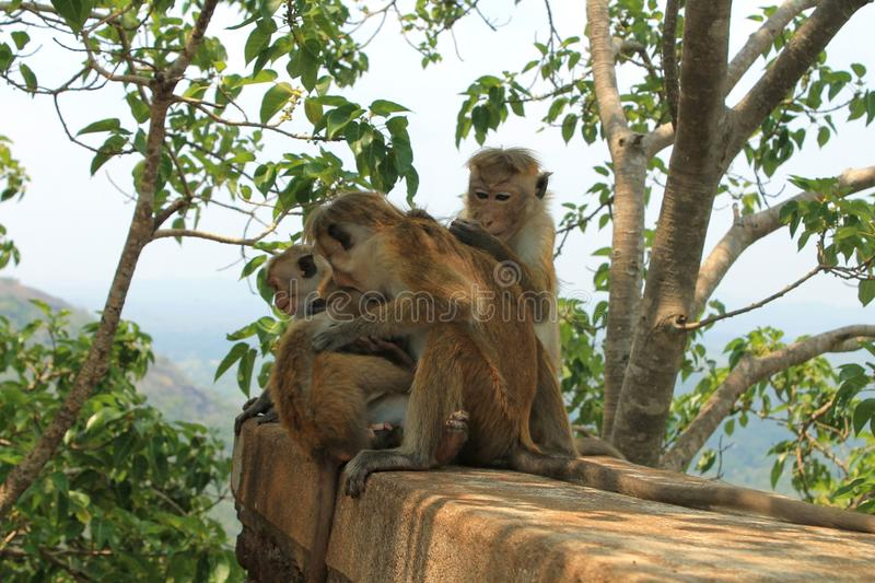 Monkey. Mountain located in Sigiriya, Sri Lanka has a very high historical value, it is very beautiful and interesting place royalty free stock photography