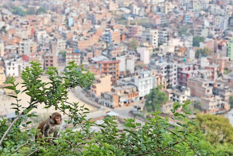 Monkey On The Mulberry Tree Stock Photo