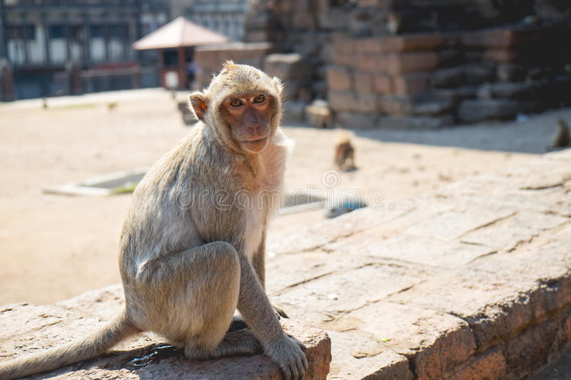 Monkey in the Museum at phra prang sam yod stock photography