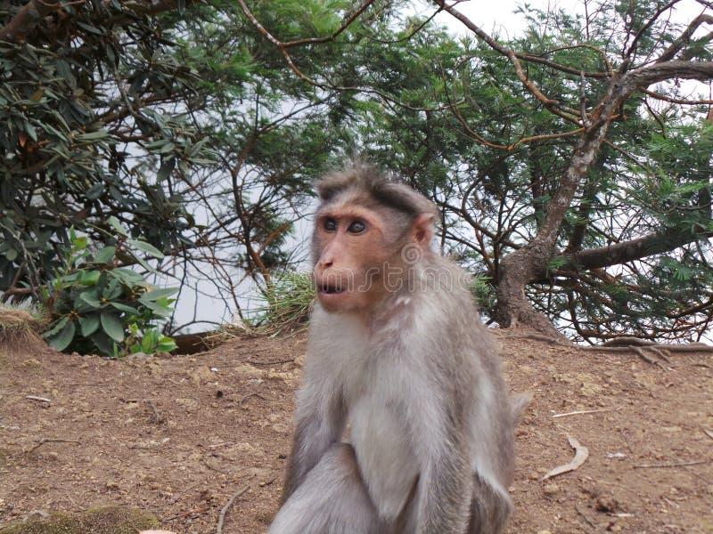 Monkey na montanha que olha estranha no campo imagem de stock