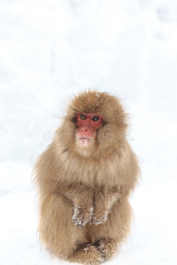 Monkey in a natural onsen (hot spring), located in Snow Monkey, Nagono Japan. royalty free stock image