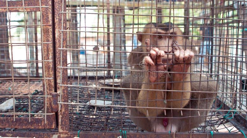Monkey nella gabbia del collegare immagini stock libere da diritti