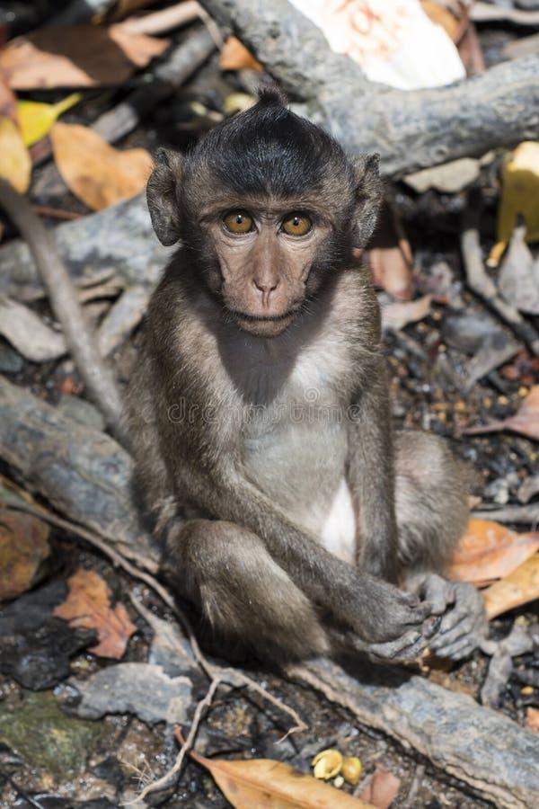 Monkey o assento em uma árvore nos manguezais foto de stock
