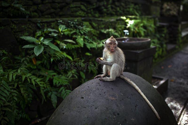 Monkey o assento na pedra em torno da selva verde na floresta do macaco de Ubud, Bali, Indonésia imagem de stock royalty free