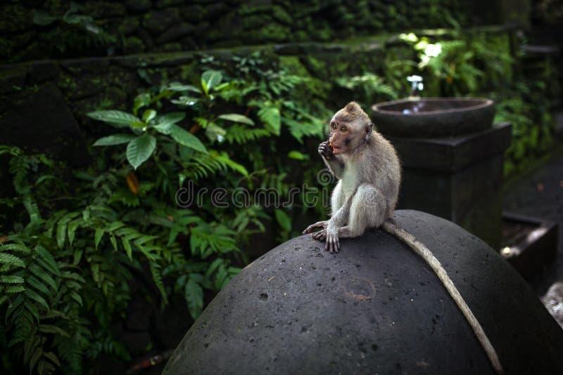 Monkey o assento na pedra em torno da selva verde na floresta do macaco de Ubud, Bali, Indonésia foto de stock