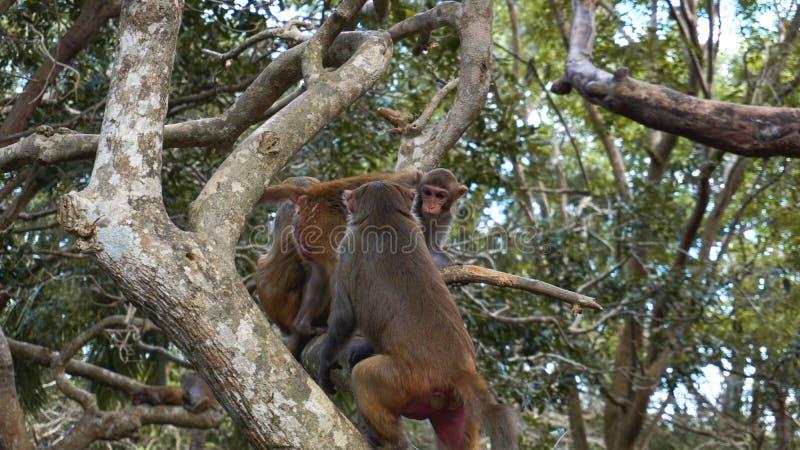 Monkey o macaque nos macacos da floresta tropical no ambiente natural foto de stock
