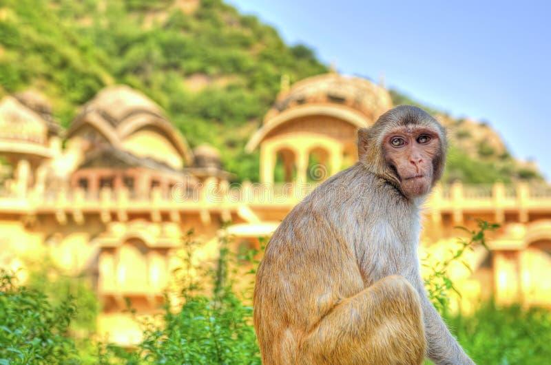 Monkey o pensamento imagens de stock