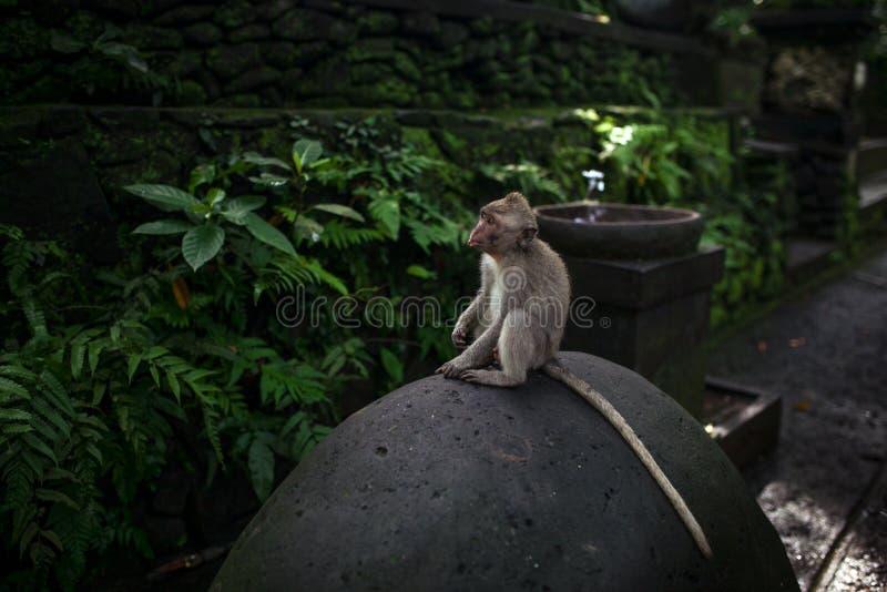 Monkey o retrato do macaco sagrado Forest Sanctuary em Ubud, Bali, Indonésia fotografia de stock royalty free