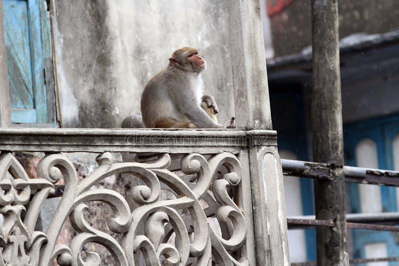Monkey in Old Dhaka stock photos