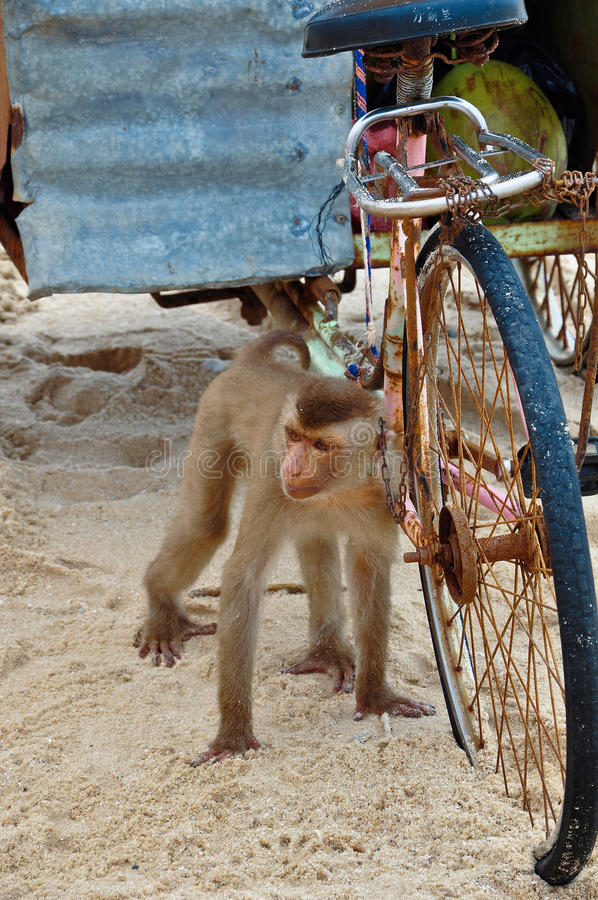 A monkey and an old rusty bike. A monkey on a beach and an old rusty bike stock photography