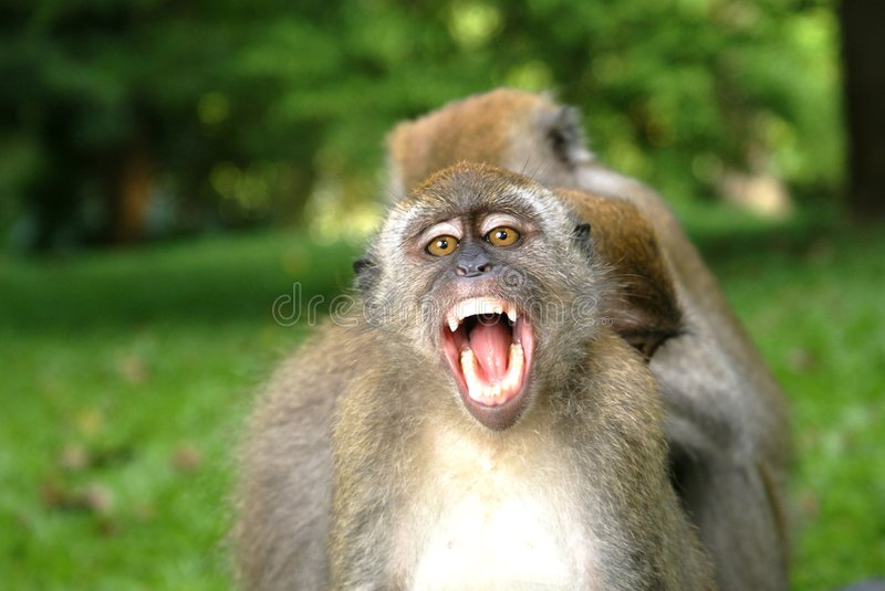 Monkey open his mouth. 3 long-tailed macaques against background of foliage in Bukit Timah Nature Reserve, Singapore. One opening his mouth and baring teeth royalty free stock image
